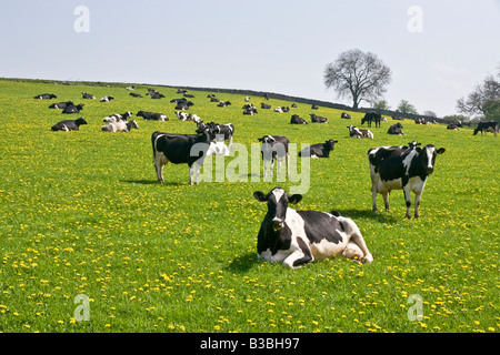 Dairy cows in a field near Spennithorne in the Yorkshire Dales.  North Yorkshire - Stock Photo
