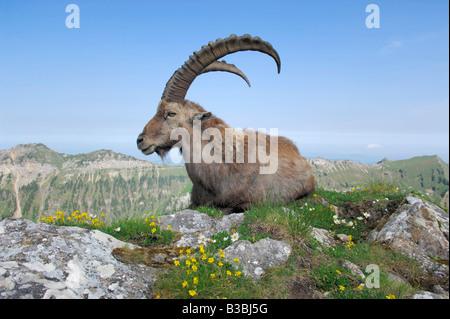 Alpine Ibex Capra ibex adult among flowers Niederhorn Interlaken Switzerland - Stock Photo