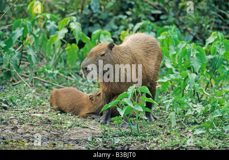 Capybara (Hydrochaeris hydrochaeris), mother with with young, Pantanal, Brazil, South America - Stock Photo