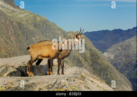 Chamois (Rupicapra rupicapra), adult with young standing on ledge, Grimsel, Bern, Switzerland - Stock Photo