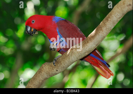 Eclectus Parrot (Eclectus roratus polychloros), adult eating, Australia - Stock Photo