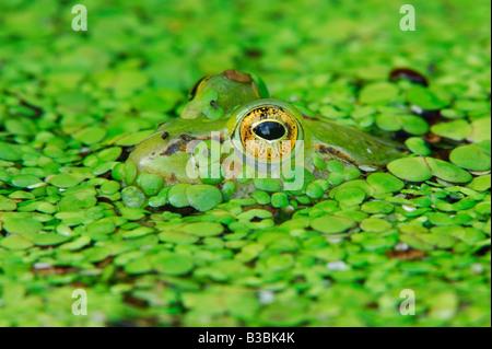 Edible frog (Rana esculenta), adult camouflaged in duckweed (Lemnaceae), Switzerland - Stock Photo