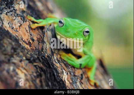 Australian Green Tree Frog Litoria caerulea adult perched on tree Australia