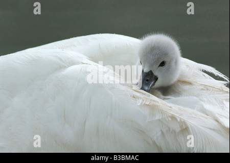 Mute Swan Cygnus olor young on mothers back Lake of Zug Switzerland - Stock Photo