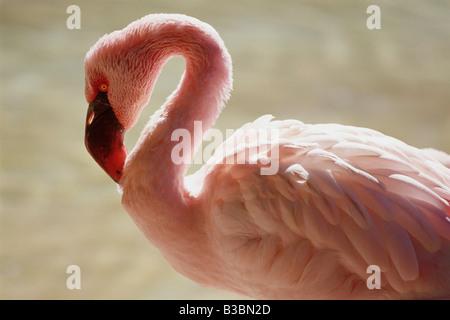 Flamingo, San Diego Zoo, California, USA - Stock Photo