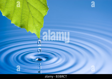 Water droplets falling from leaf causing ripples. Beech tree leaf. - Stock Photo