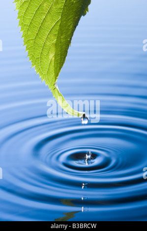 Water droplets falling from leaf causing ripples. Flowering cherry tree leaf. - Stock Photo