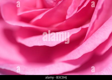 Pink rose petals close up - Stock Photo