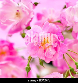 Pink roses close-up - Stock Photo