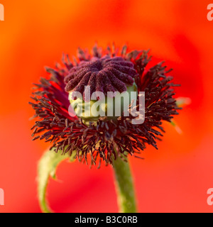 An orange oriental poppy, close-up