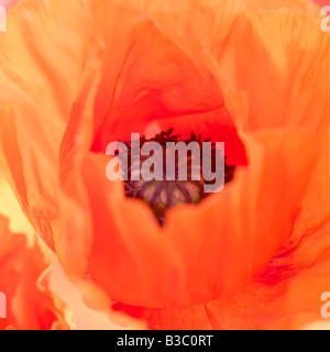 An orange oriental poppy, close-up - Stock Photo