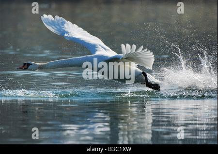 Mute Swan Cygnus olor adult taking off Lake of Zug Switzerland - Stock Photo