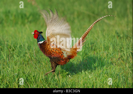 Ring-necked Pheasant Phasianus colchicus male displaying National Park Lake Neusiedl Burgenland Austria - Stock Photo