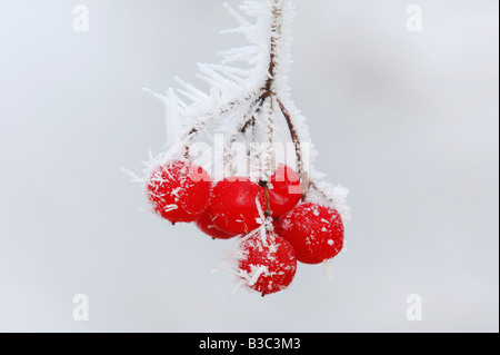 Rowan tree (Sorbus aucuparia), berries in hoar frost, Switzerland - Stock Photo