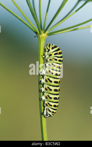 Old World Swallowtail Papilio machaon caterpillar on fodder plant Switzerland - Stock Photo