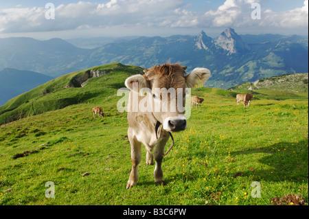 Cows on the Alps, Schwyz, Switzerland - Stock Photo