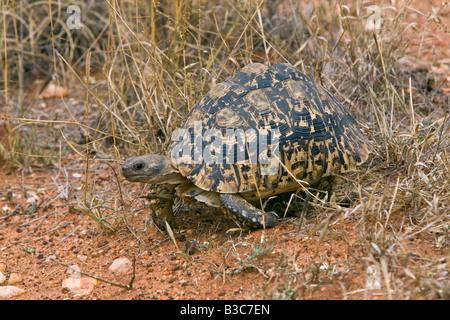 Kenya, Tsavo West National Park. A leopard tortoise (Geochelone pardalis) in Tsavo West National Park. - Stock Photo