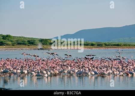 Kenya, Kabarnet, Lake Bogoria. In the early morning, flocks of lesser flamingo concentrate near the numerous hot - Stock Photo