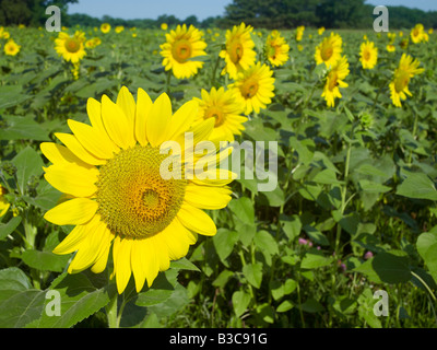 Sunflower Flower Detail In Field With Many Other Sunflowers - Stock Photo