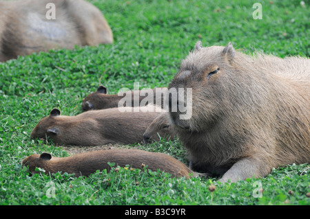 Capybara family, capybaras (Hydrochoerus hydrochaeris) are the largest living rodents in the world, found throughout - Stock Photo