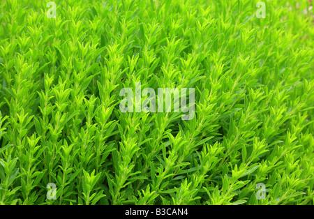 Savory Satureja montana - Stock Photo