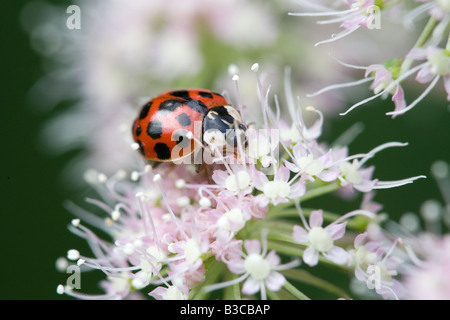 Harlequin Ladybird Harmonia axyridis adult on a Wild Angelica Andelica sylvestris flower head - Stock Photo