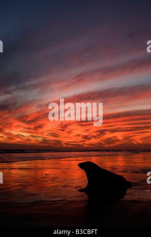 Grey Seal (Halichoerus grypus) at sunrise - Stock Photo