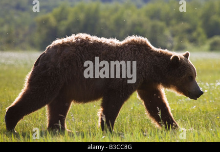 Male, adult Grizzly Bear (aka. Brown Bear) (Ursus arctos horribilis), in Hallo Bay, Katmai National Park, Alaska. - Stock Photo