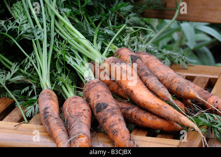 Carrots harvested from the vegetable plot - Stock Photo