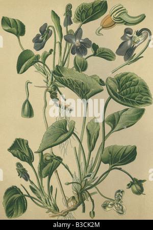 Historical chromo image 1880 of medicinal plant violet viola odorata viola mammola - Stock Photo