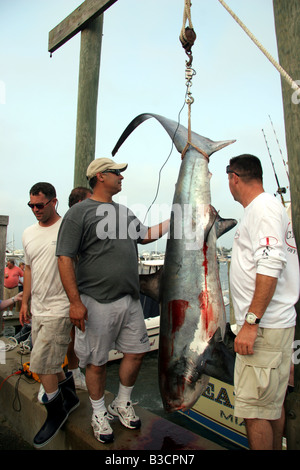 Caught shark being hung up after a shark fishing competition on Marthas Vineyard - Stock Photo