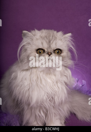 Silver Persian cat on purple background and a violet feather boa - Stock Photo