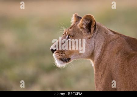 Africa, Botswana, Lioness (Panthera leo) in grass watching - Stock Photo