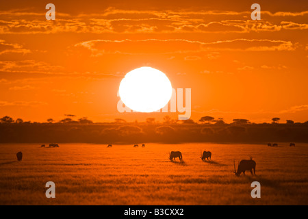 Africa, Botswana, Silhouette of gemsbok herd (Oryx gazella) at sunset - Stock Photo