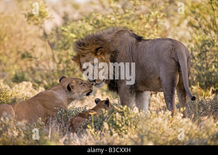 Africa, Botswana, African Lion (Panthera leo) Lioness (Panthera leo) and cub - Stock Photo
