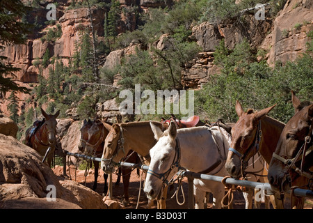 Mules on North Kaibab Trail in Grand Canyon - Stock Photo