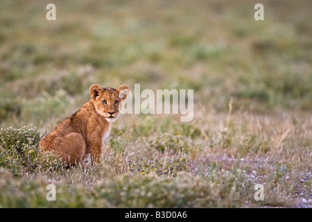 Africa, Botswana, Lion (Panthera leo) cub sitting in grass, - Stock Photo