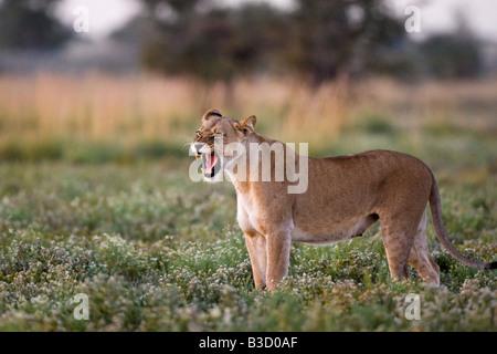 Africa, Botswana, Lioness (Panthera leo) roaring - Stock Photo