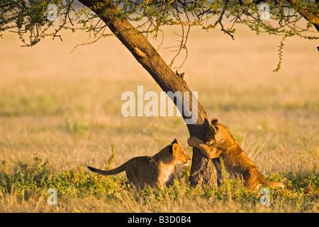 Africa, Botswana, Lion cubs (Panthera leo)