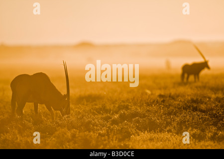 Africa, Botswana, Gemsbok herd (Oryx gazella) - Stock Photo