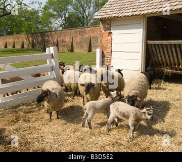 Washington DC USA George Washington's historic estate at Mount Vernon his favorite breed of Hog Island sheep. - Stock Photo