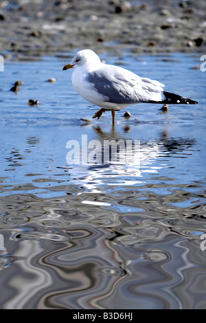 Seagull on a frozen beach in winter - Stock Photo