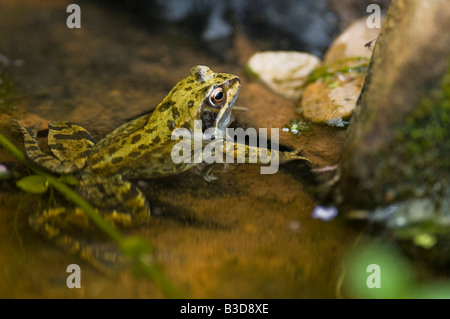 A male Common Frog Rana temporaria in a fresh water wildlife pond. - Stock Photo