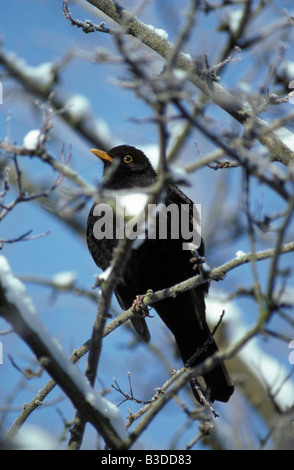 merle noir Amsel Throttle birds blackbird males with ruffled plumage Blackbird throttle nature turdus merula wholeearth - Stock Photo