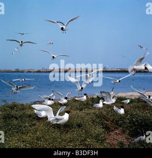 mediterranean gull Larus melanocephalus breeding colony couple calling France Camargue Europe South Europe France - Stock Photo
