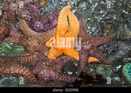 Ochre sea stars Pisaster ochraeceus exposed on rock wall at low tide Olympic National Park Washington USA - Stock Photo