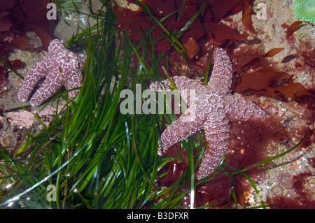 Ochre sea stars Pisaster ochraeceus in tidepool at low tide Olympic National Park Washington USA - Stock Photo