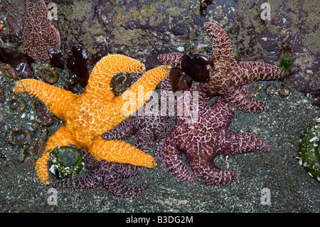 Ochre sea stars Pisaster ochraeceus exposed at low tide Olympic National Park Washington USA Digital capture - Stock Photo