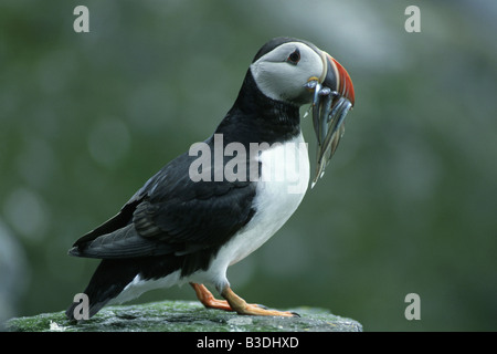 common atlantic puffin Fratercula arctica Papageitaucher mit Sandaale im Schnabel Insel Runde More og Romsdal Norwegen - Stock Photo