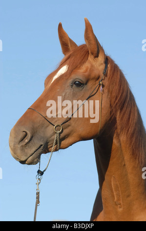Deutsches Reitpferd German Riding Horse - Stock Photo